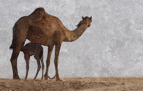 camel - FotoSketcher