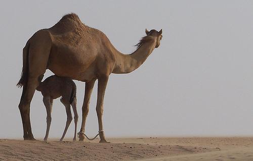 camel - Original